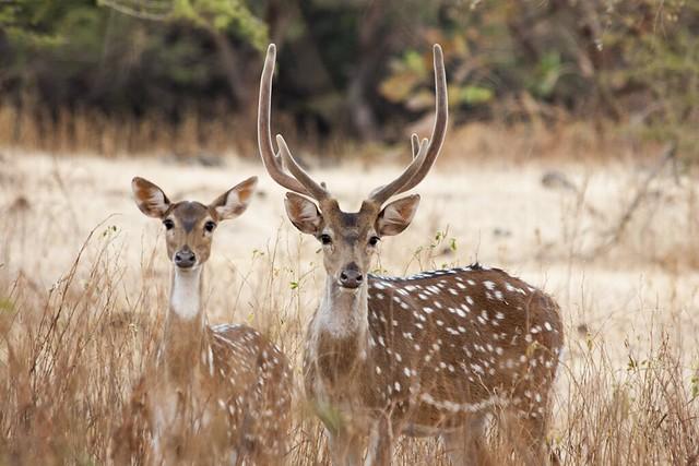 Axis o ciervo moteado en el parque nacional del Bosque de Gir. India.