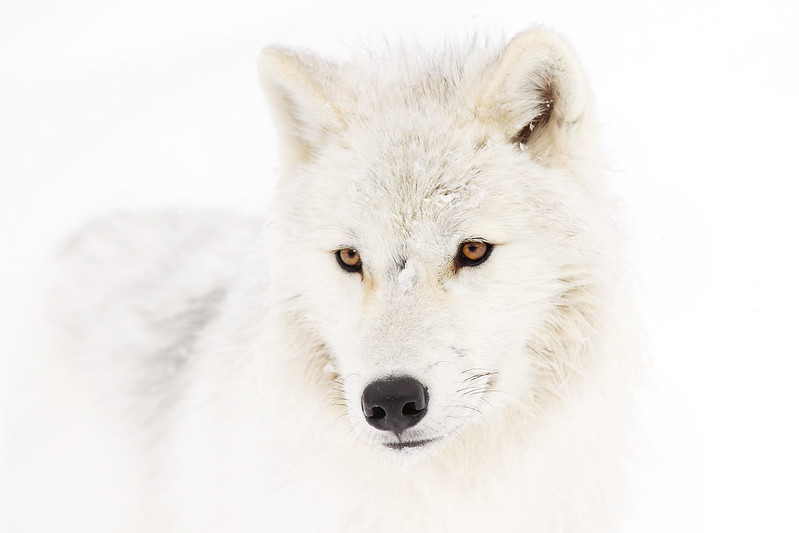 Portrait of a Wolf - Canadian Arctic Wolf
