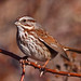 Song Sparrow by Keith Carlson