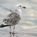 Gaivotão real - Larus marinus - Great Black-backed Gull