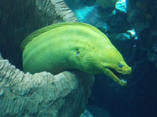 Daily Bucket Wild Florida Moray Eels