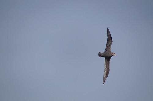 035 Noordelijke reuzenstormvogel