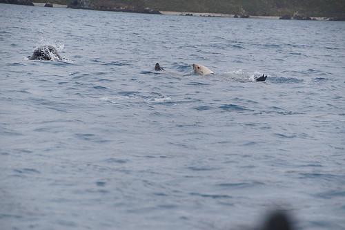 436 Blonde zeebeer