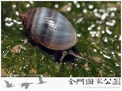 酒桶冠耳螺-01(生態照)
