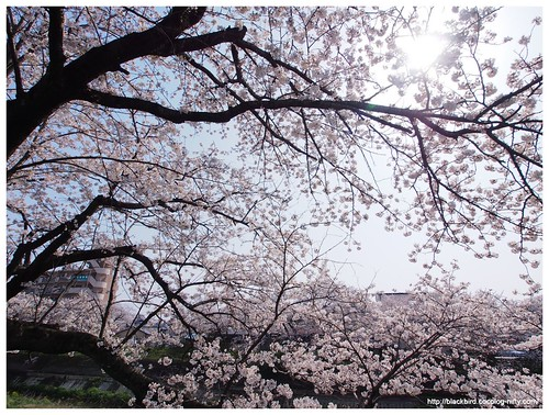 Cherry blossoms 20140408 #03