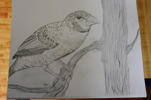 Finch Drawing