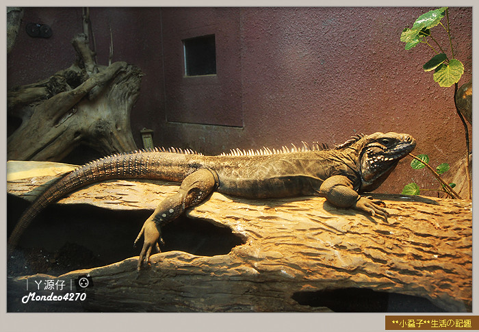 木柵動物園(圓仔)78