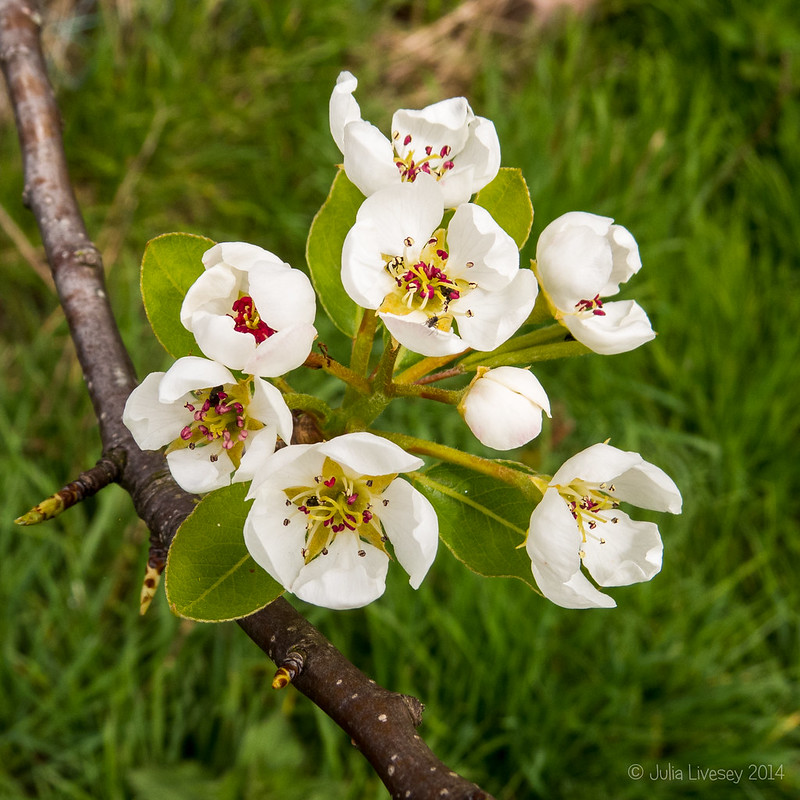 Crab Apple Blosson