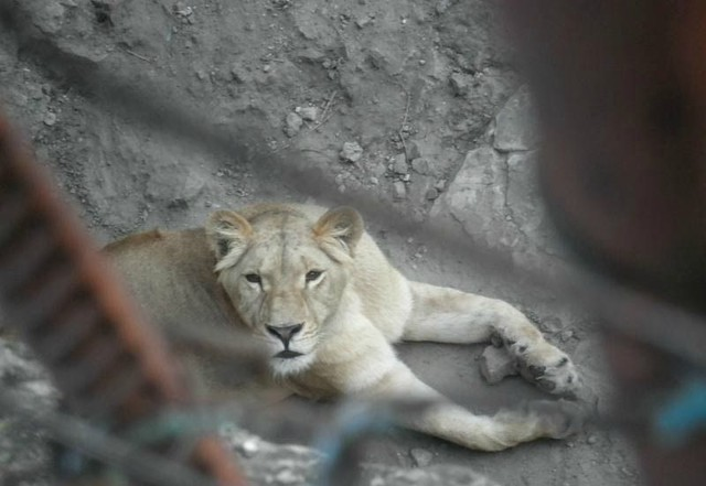 1mzoo_lion.jpg
