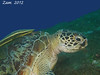 Green Sea Turtle with Remora by oceanzam
