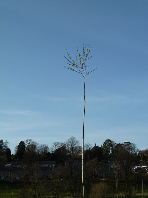 Newly planted tree in riverside meadow, Tisbury