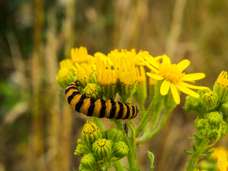 Cinabarr Moth Caterpillar on Ragwort