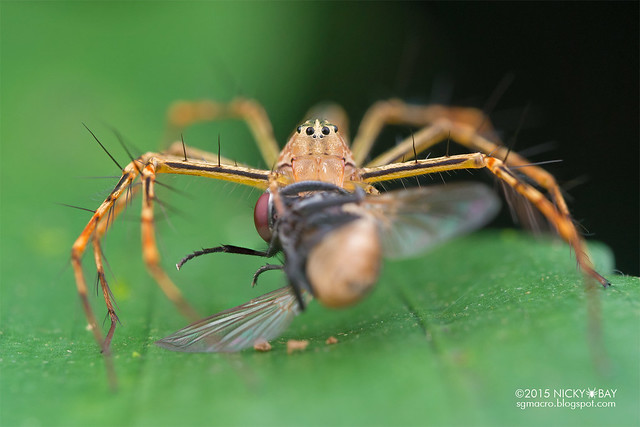 Lynx spider (Hamadruas sp.) - DSC_4361