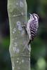 sundapygmywoodpecker by sharkegg