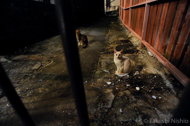 Okinawan cats