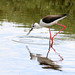 Black Winged Stilt (Jim Higham)