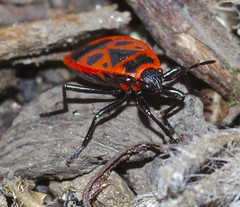 Firebug poses for the camera