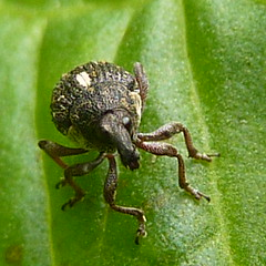Weevil on dock 1a