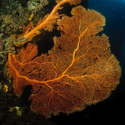 michaelmas reef fan
