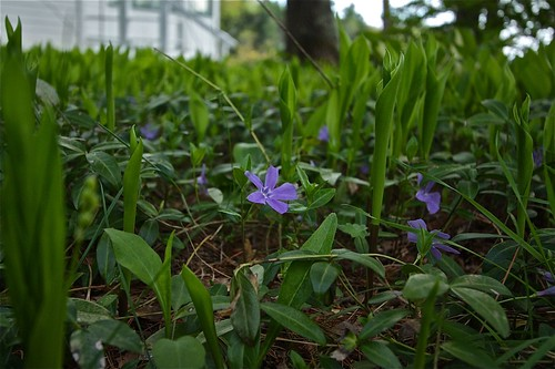 Early Spring ~ Violets and Lily of the Valley