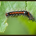 Caterpillar Of The Yellow-tail Moth by Full Moon Images