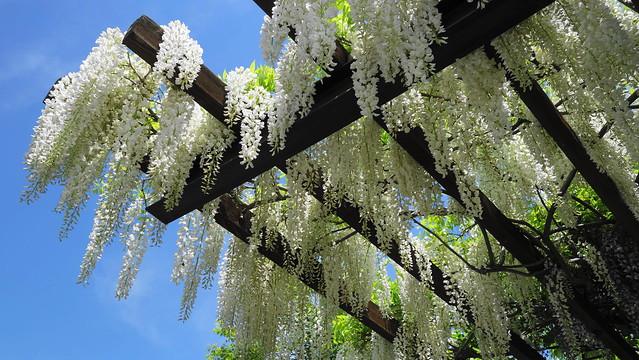 Wisteria floribunda f.alba / Japanese wisteria / 白花藤