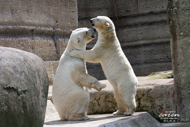 Eisbären Giovanna&Yoghi 2013_06_12 575