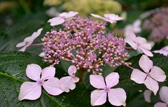 lilac(0.0), blossom(0.0), purple(0.0), annual plant(1.0), shrub(1.0), flower(1.0), leaf(1.0), hydrangea serrata(1.0), plant(1.0), lilac(1.0), wildflower(1.0), flora(1.0), pink(1.0), petal(1.0),