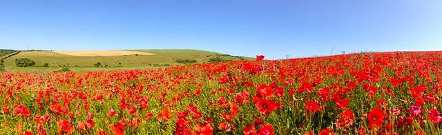 Sunny Poppy Field Panorama