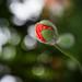poppy bud by Sabinche
