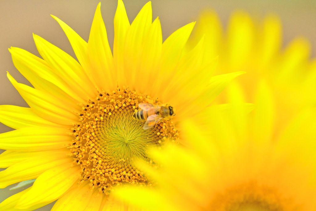 Honeybee and Sunflower / ヒマワリとミツバチ