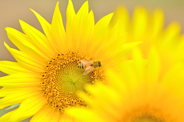 Photo:Honeybee and Sunflower / ヒマワリとミツバチ By Dakiny
