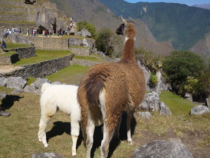 Baby llama flaunting no eating rule in Machu Picchu.