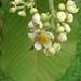 Small photo of Saurauia scabra
