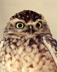 Owl In Vintage