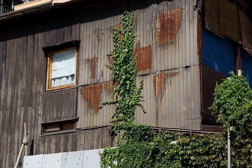 A tin wall and an ivy  by leicadaisuki