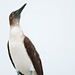 Blue Footed Booby at the Breakwater by Photosuze