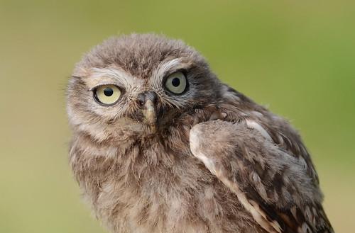 Young Little Owl (Athene noctua)