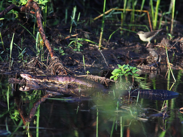 Northern Waterthrush with Cottonmouth 01-20131008
