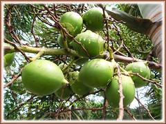 Wodyetia bifurcada (Foxtail Palm) with clusters of unripen green fruits, 13 Sept 2013