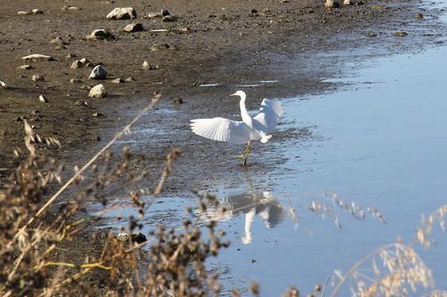northerncalifornia vallejo egret snowyegret egrettathula solanocounty whiteslough