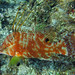 Hogfish, Grand Cayman