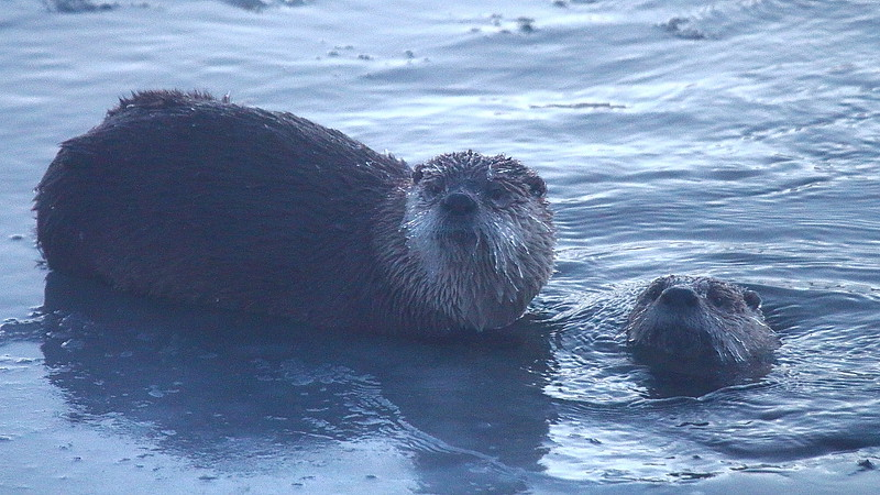 IMG_1468 River Otter
