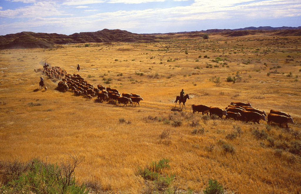 13. Transporte de ganado en las praderas. Autor, USDAgov
