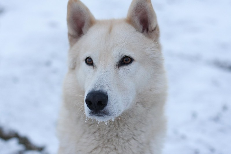 How can we thank and give back to the Chukchi People for giving us our beloved Siberian Husky breed? 11848110793_cb36434f8a_c