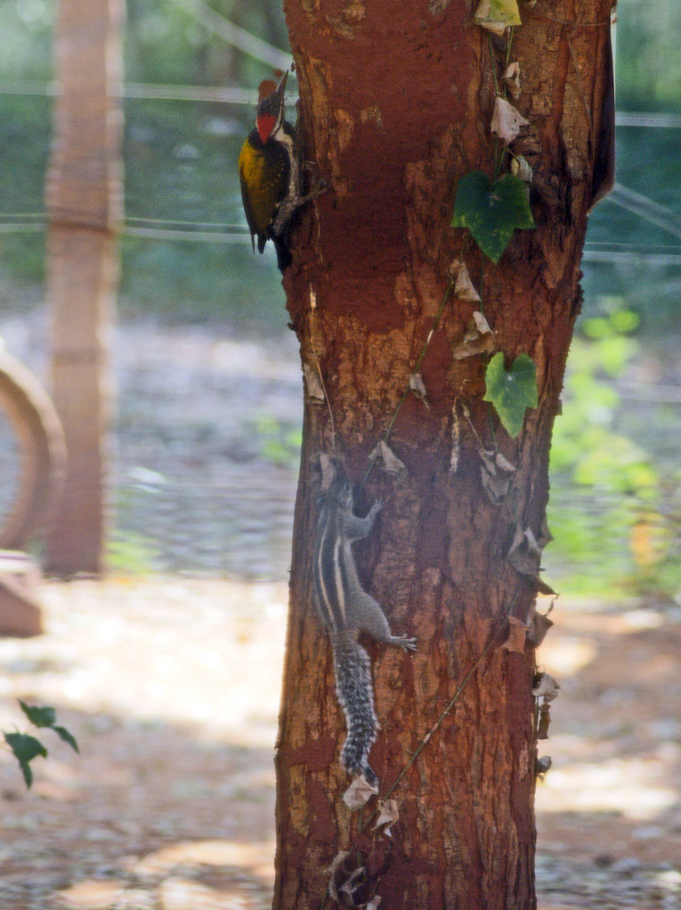 woodpecker_squirrel_6696