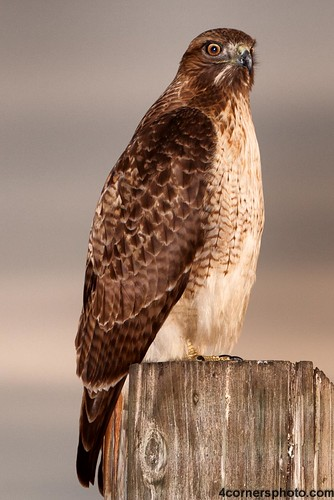 california wood portrait sky color bird eye animal vertical clouds sunrise landscape scenery unitedstates wildlife wing beak feather talon raptor perch northamerica birdofprey centralvalley redtailedhawk buteojamaicensis sanjoaquinvalley mercedcounty sanluisnationalwildliferefuge 4cornersphoto chicknhawk