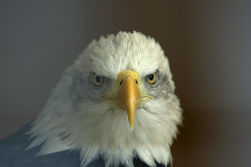 Bald Eagle (Explored)