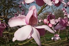 Pink tulip tree in the Arboretum