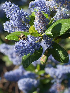 YellowFacedBumblebee_on_Ceanothus_1952a